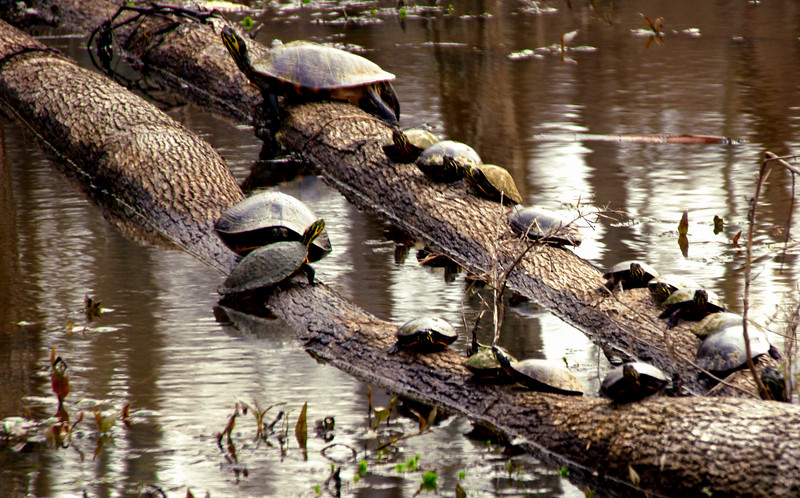wetlands-03092019-turtlesfamily1-3600px.jpg