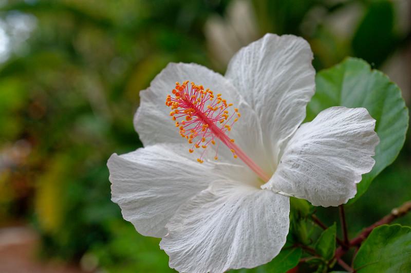 White hibiscus Sanibel Moorings Botanical Gardens