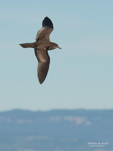 Wedge-tailed Shearwater, Wollongong, NSW, Aug 2013-1.jpg