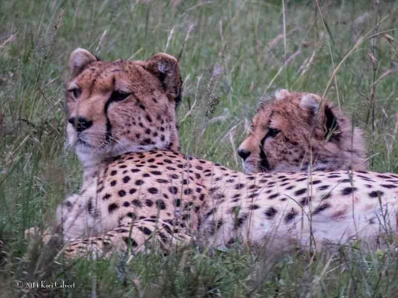CheetahK-13.jpg