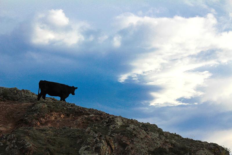 cows3 (1 of 1).jpg