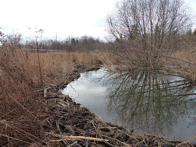 Beavers Build Dam On Our Trail