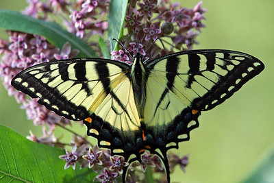 Tiger Swallowtail 07-12-09
