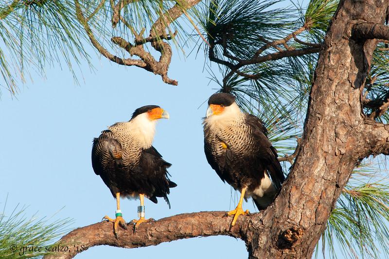 Crested Caracara pair