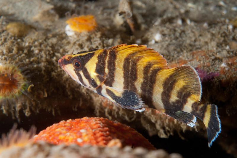 Juvenile Treefish