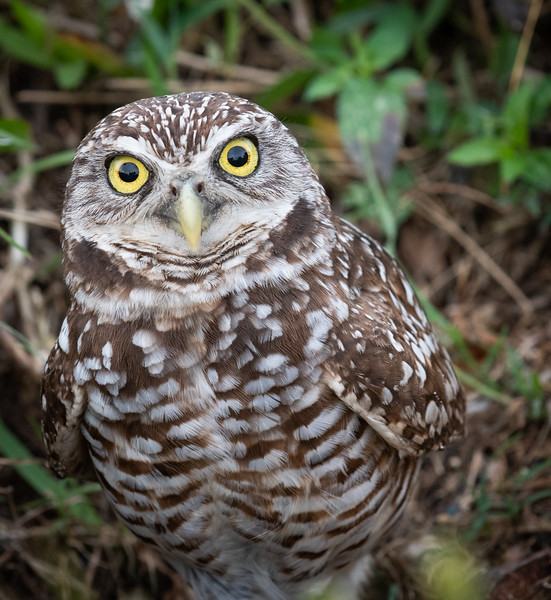 Burrowing Owls - March 18, 2019