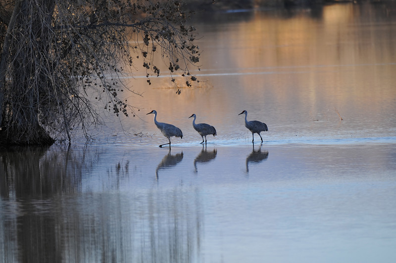Sandhill cranes, Bosque del Apache