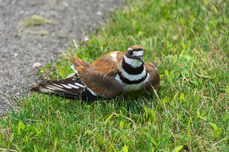 Killdeer-broken-wing-display-SFlake.jpg