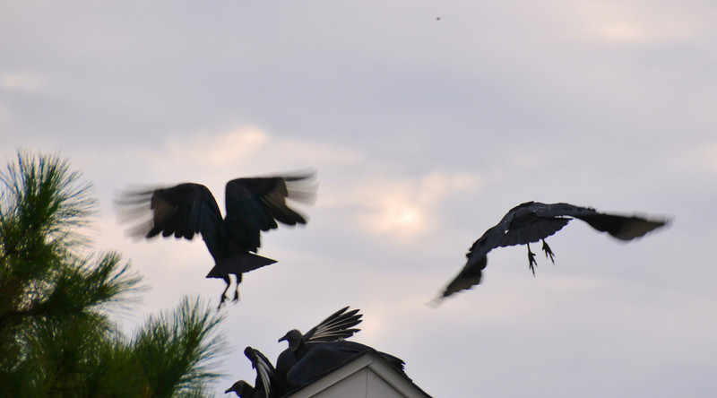 Wildlife in suburbia. Black Vultures on top on my neighbors roof this morning.
