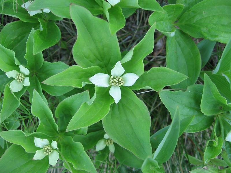 Bunchberry (aka Dwarf Dogwood)