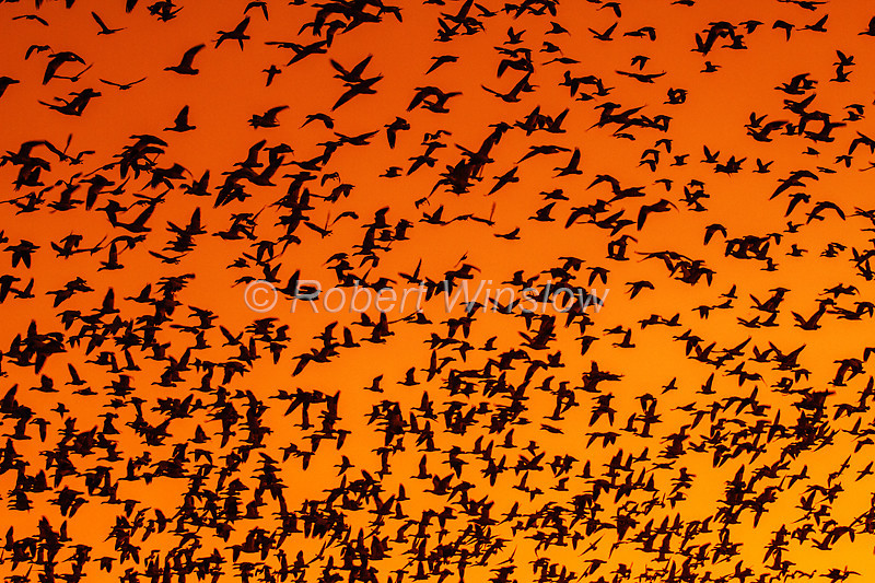 Snow Geese, Chen caerulescens, Flying,  Bosque del Apache National Wildlife Refuge, New Mexico, USA, North America