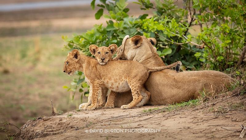 Bili_Lion-n-cubs_9168cc2fx-web.jpg