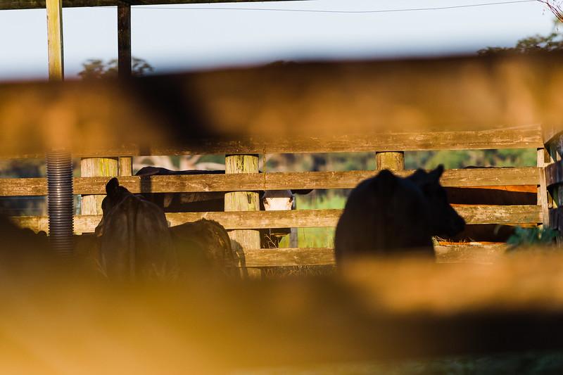 Barthle Cattle-2 (80 of 102).jpg