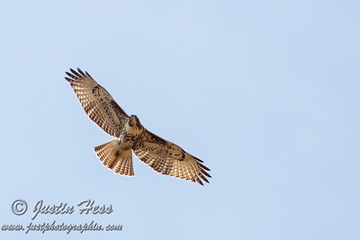 Yound Red-tailed Hawk September 2018