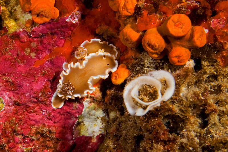White Margin Nudibranch 1.jpg