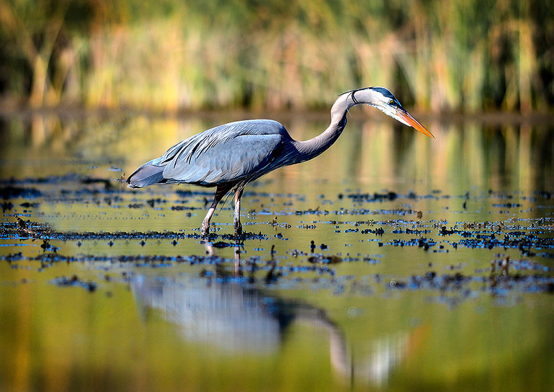 Great Blue Heron No Border.jpg
