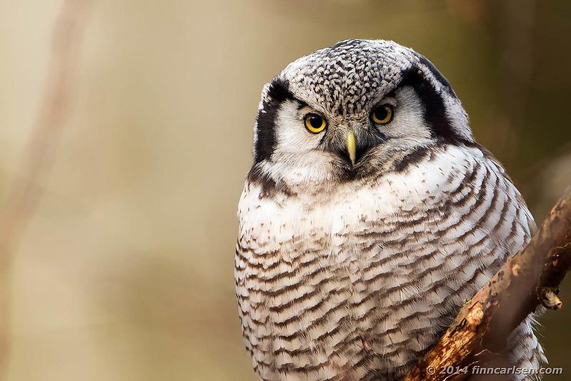 Høgeugle (Surnia ulula - Hawk Owl)
