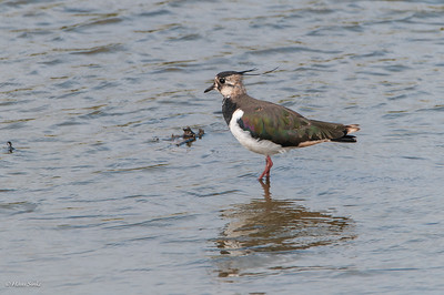 Lapwing, Northern (monotypic)