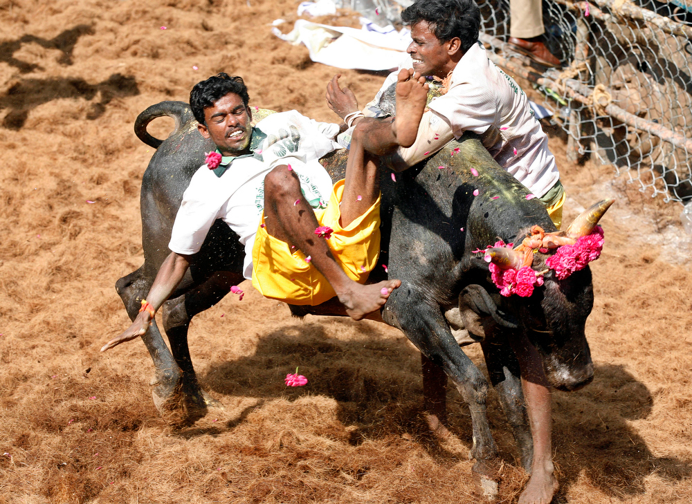 Description of . Bull tamers try to control a bull during the bull-taming sport called Jallikattu, in Alanganallur, about 530 kilometers (331 miles) south of Chennai, India, Wednesday, Jan. 16, 2013. Jallikattu is an ancient heroic sporting event of the Tamils played during the harvest festival of Pongal. (AP Photo/Arun Sankar K.)