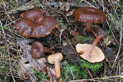 21.08.2014 – Lactarius serifluus (syn. Lactarius subumbonatus)