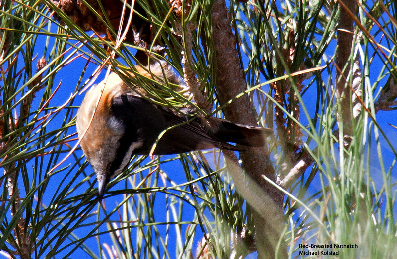 20141004_0237 NT crp Red-breasted Nuthatch upside.jpg