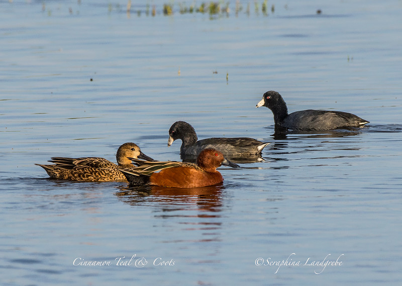 _DSC0273Cinnamon Teal and Coots.jpg