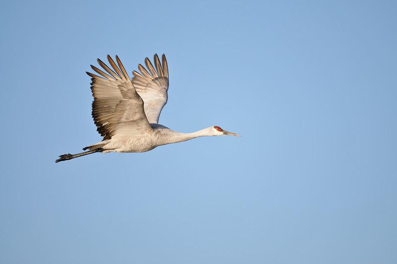 Sandhill crane, Bosque del Apache