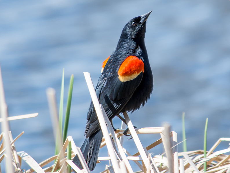 red winged blackbird posing (1 of 1).jpg