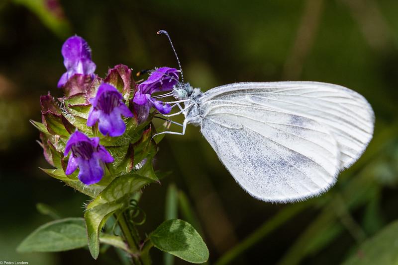 Second Flight Wood White on Self-Heal