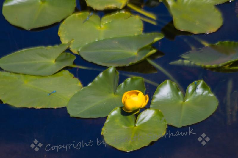 Pond lily close.jpg