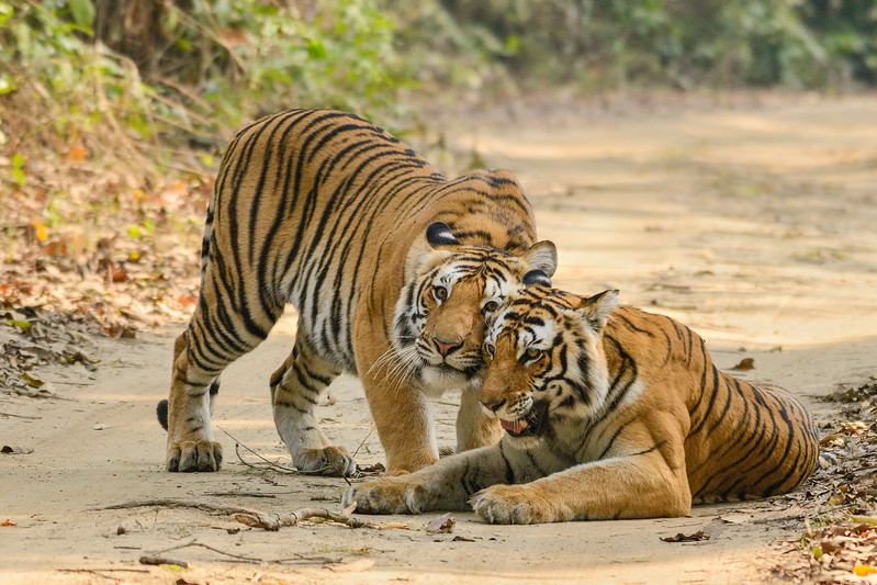 Ringodawali-tigress-and-cub-bijrani-corbett-new.jpg