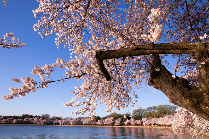Cherry blossom tree at the Tidal Basin