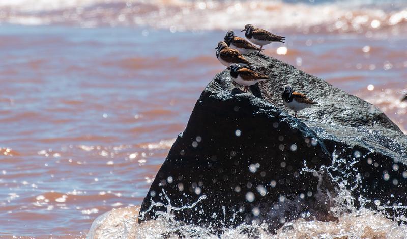 Ruddy Turnstone Wisconsin Point Lake Superior Superior WI  P1066512.jpg