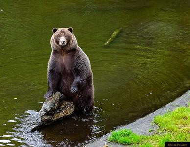 Bears of Alaska August - September 2017