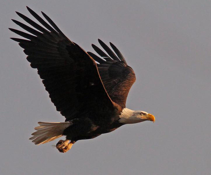 Bald Eagle in flight, Colusa WLR