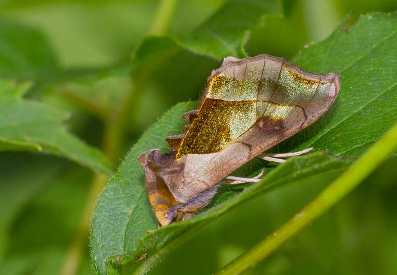 Diachrysia balluca Hologram Moth 93-1179 8897 Family Noctuidae near Cloquet River Independence MN Sax-Zim Bog MN IMG_3077.jpg
