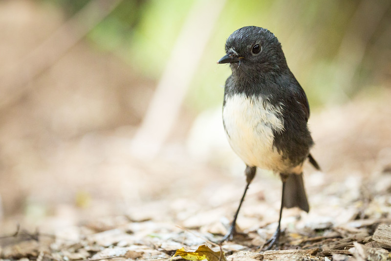 South Island Robin