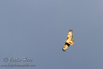 Red Tailed Hawk 07-13-2016
