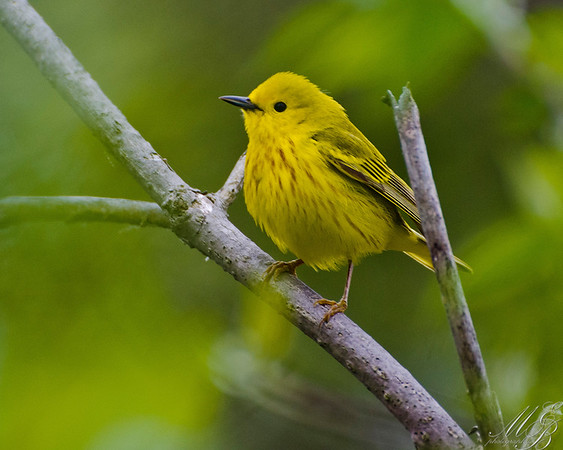 Warblers, Kinglets, Gnatcatchers and Allies
