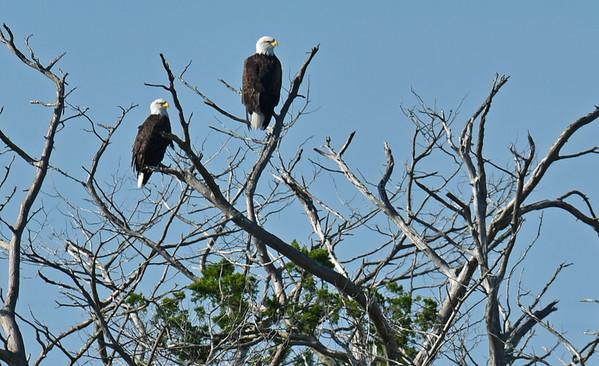 American Bald Eagles on Tree 09-28-18