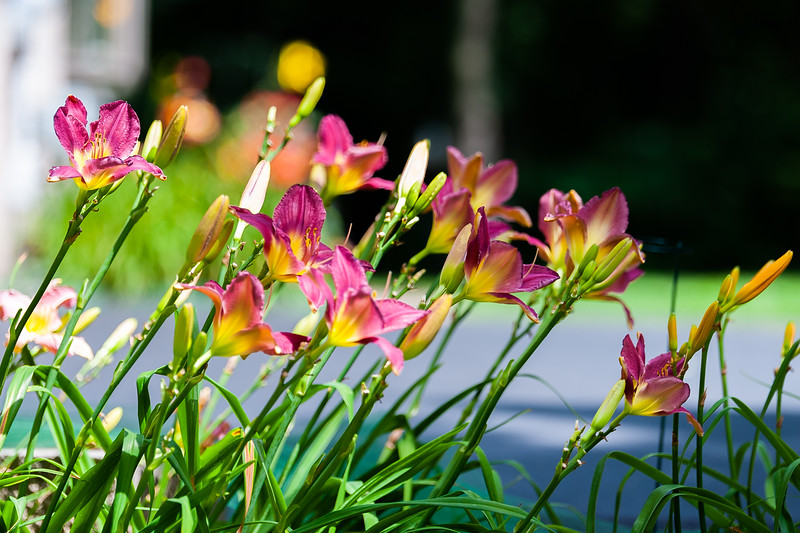 20190730 Daylilies and Butterfly-6636.jpg