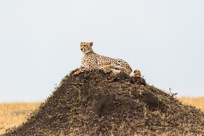 Lions, Cheetah's & Elephants