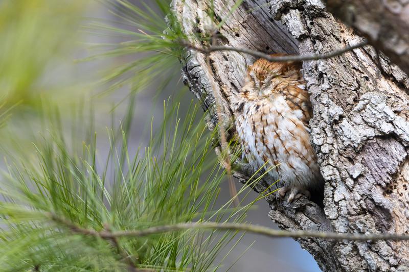 Eastern Screech Owl Red Morph in Tree Cavity Six.jpg