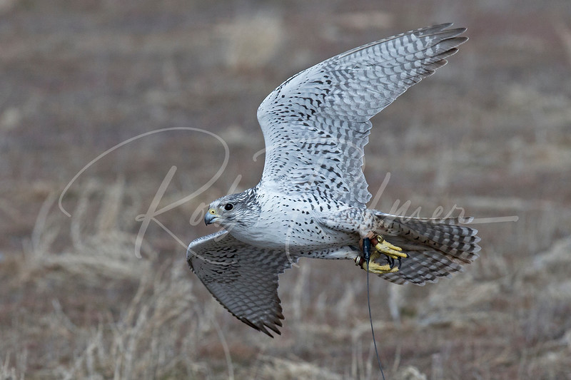 Grey Gyrfalcon cruising