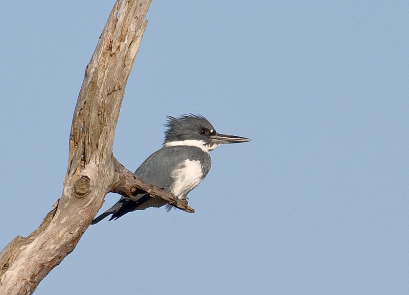 belted kingfisher