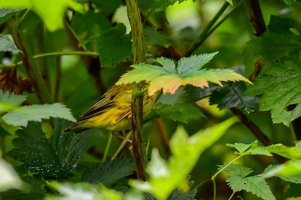 8-03-15 Yellow Warbler