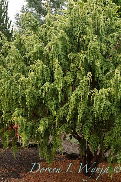 Juniperus pingii_843.jpg