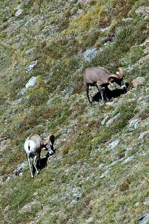 Bighorn Sheep - Rocky Mountain NP - CO