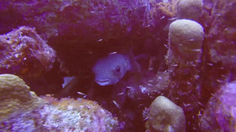 GOPR0136- Puffer Fish.MP4