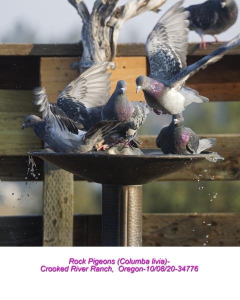 Rock Pigeons 34776.jpg